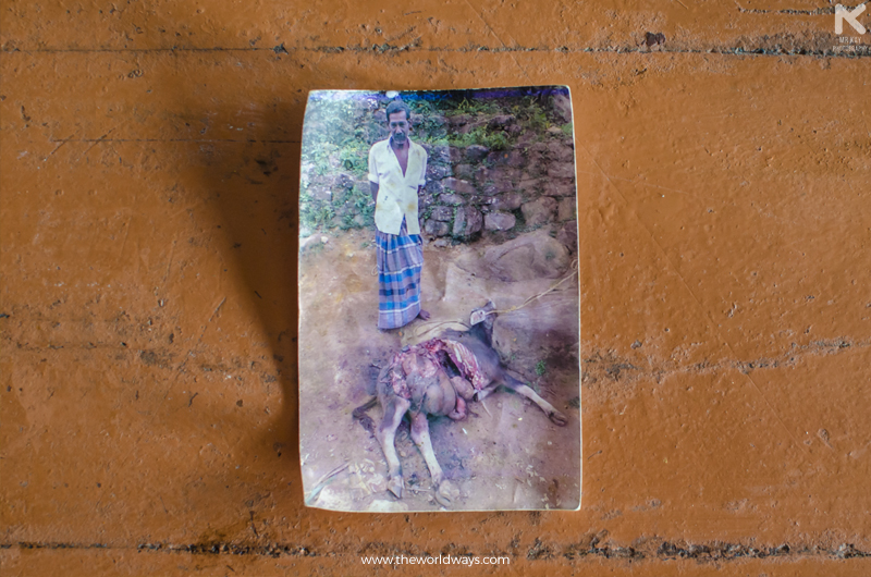 A Cow at Malakkappara That Got Brutally murdered by a tiger